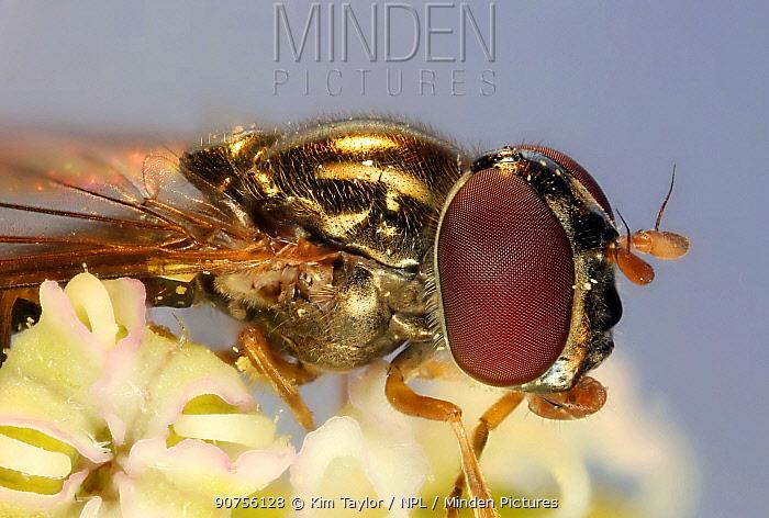 Soldier fly (Sargus species) on Hogweed (Heracleum sphondylium) flower. Surrey, England. Digital composite.
