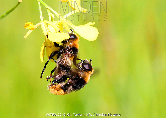 Narcissus Bulb Fly (Merodon equestris) mating pair. Surrey, England