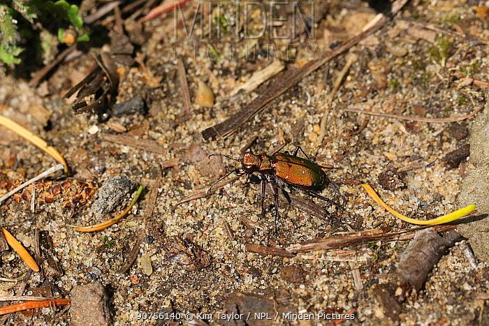 Green tiger beetle (Cicindela campestris) bronze form. Surrey, England, UK, May.