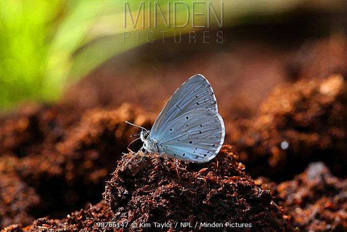Holly blue butterfly (Celastrina argiolus) male at 'salt lick' on peat. Surrey, England, UK, July.