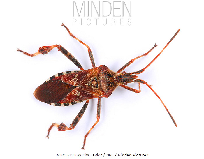Western conifer seed bug (Leptoglossus occidentalis) recently introduced to Europe from North America and spread to Britain. Surrey, England, UK, November.