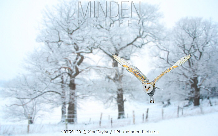 Barn owl (Tyto alba) flying in snow covered countryside, Surrey, England, UK, January. Digital composite.