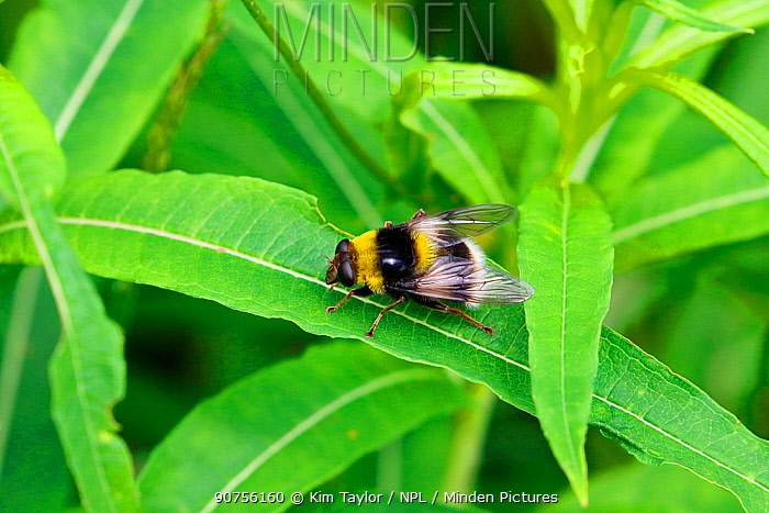 Hover fly (Volucella bombylans), bumblebee mimic species, Italy, July.