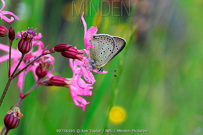 Sooty copper butterfly (Lycaena tityrus) on Ragged Robin (Silene flos-cuculi). Italy, July.