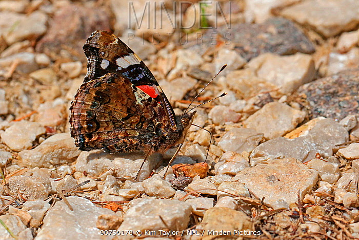 Red Admiral Butterfly (Vanessa atalanta) drinking from a moist stream bed. Italy, July.