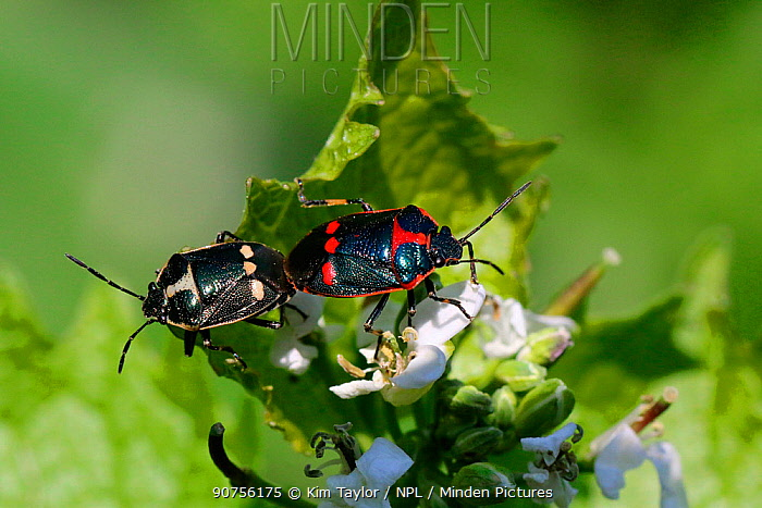 Brassica shield bug (Eurydema oleracea) mating pair. Surrey, England, UK, May.