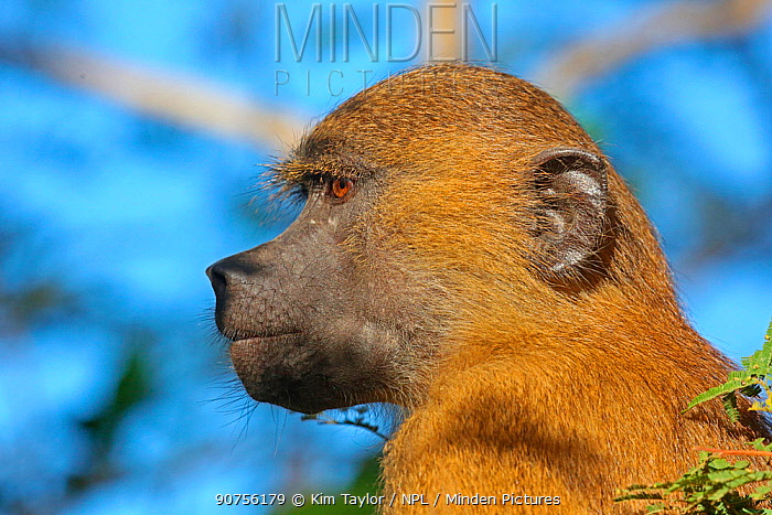 Western baboon (Papio papio) portrait. Gambia, Africa