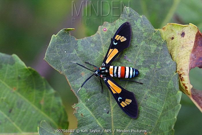 Splendorous hornet moth (Euchromia folletii). Gambia, Africa