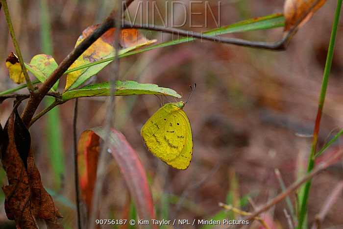 Common grass yellow butterfly (Eurema hecabe). Gambia, Africa