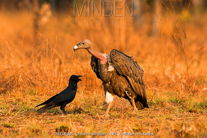 White-rumped Vulture (Gyps bengalensis) with large-billed Crow (Corvus macrorhynchos). Preah Vihear Protected Forest, Cambodia. Picture taken during filming for BBC 'Lands of the Monsoon' TV series.