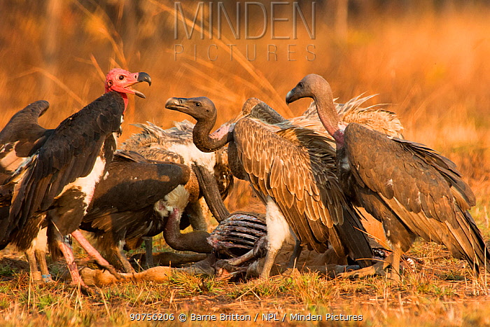 Red-headed vulture (Sarcogyps calvus) and Slender-billed vultures (Gyps tenuirostris) at cow carcass. Preah Vihear Protected Forest, Cambodia. Taken on location on location for BBC 'Lands of the Monsoon' TV series.