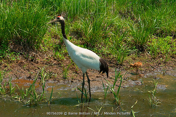 Red-crowned crane (Grus japonensis) adult and chick, Hokkaido, Japan