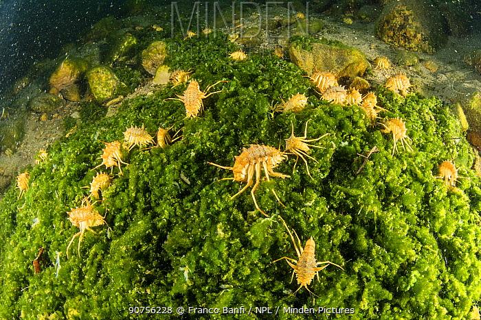 Several freshwater isopod, Amphipod gammarus (Acanthogammarus victorii), Lake Baikal, Siberia, Russia