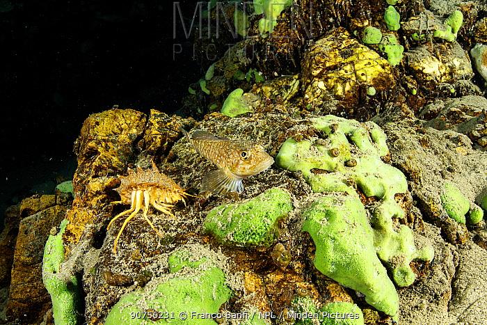 Dwarf / pygmy sculpin (Procottus gurwicii) and Freshwater isopod, Amphipod gammarus (Acanthogammarus victorii), Lake Baikal, Siberia, Russia.
