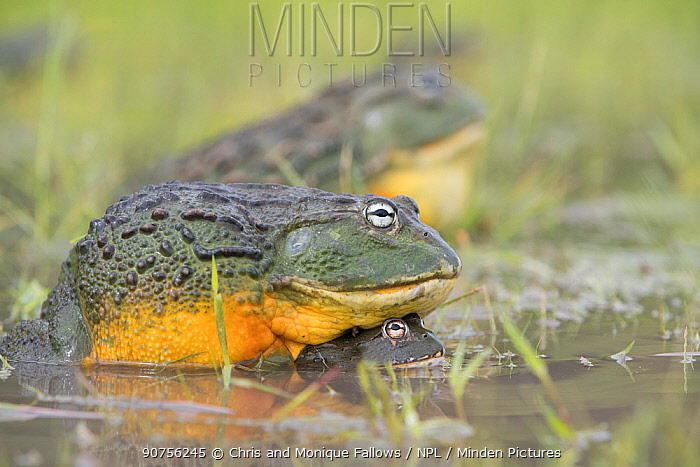 African giant bullfrog (Pyxicephalus adspersus) Central Kalahari Game Reserve. Botswana.  -  Chris and Monique Fallows