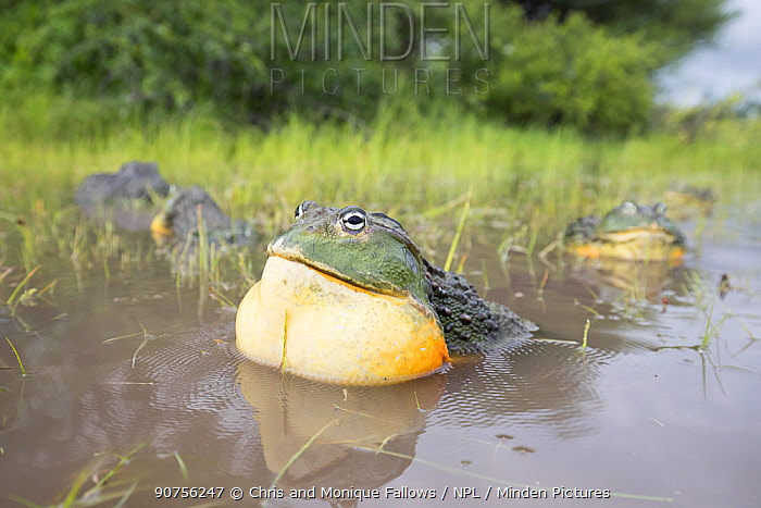 African giant bullfrog (Pyxicephalus adspersus) male calling with vocal sac inflated, Central Kalahari Game Reserve. Botswana.  -  Chris and Monique Fallows