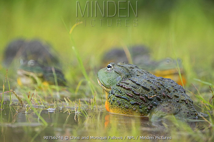 African giant bullfrog (Pyxicephalus adspersus) in pond, Central Kalahari Game Reserve. Botswana.  -  Chris and Monique Fallows