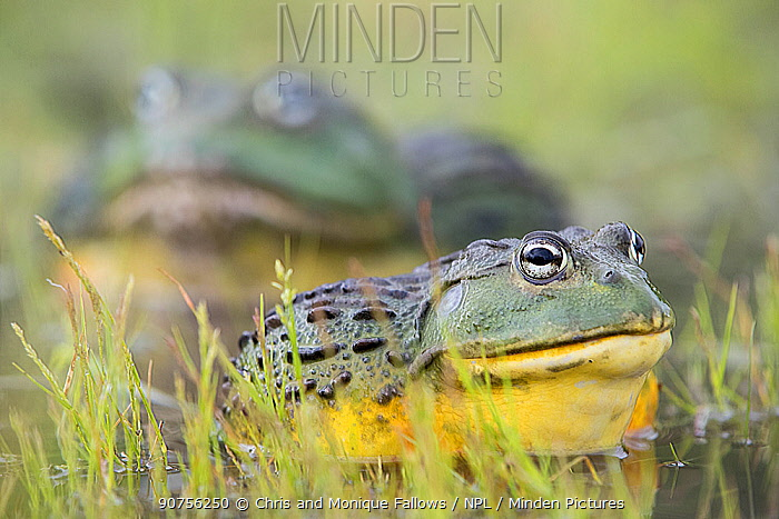 African giant bullfrog (Pyxicephalus adspersus) female with much larger male in the background, Central Kalahari Game Reserve. Botswana.  -  Chris and Monique Fallows