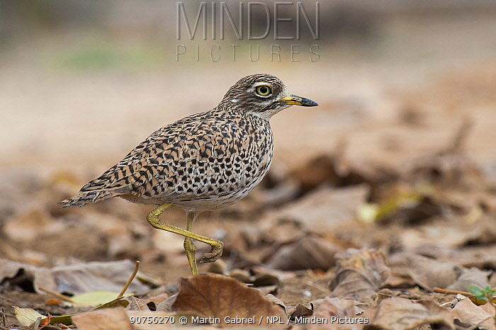 Spotted Thick-Knee (Burhinus capensis), Salalah, Sultanate of Oman, February.