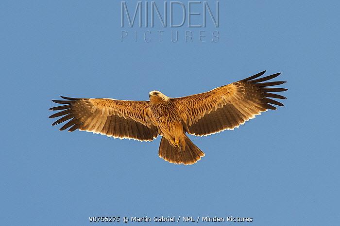 Eastern imperial eagle (Aquila heliaca), juvenile in flight, Salalah, Sultanate of Oman, February.