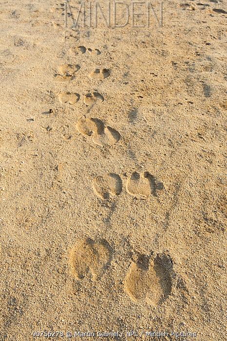 Arabian camel / dromedary (Camelus dromedarius) footprints in the desert, Bar Al Hikman , Sultanate of Oman, February.