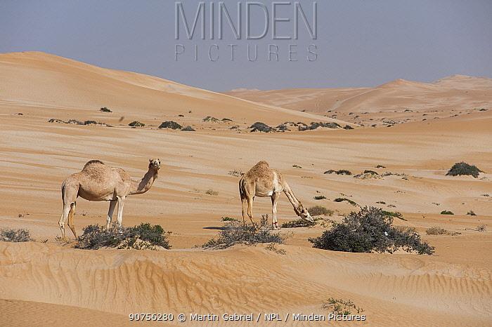 Two Arabian camels / Dromedaries (Camelus dromedarius) feeding in the sparse vegetation of the Rimal Al Wahiba desert, Sultanate of Oman, February.