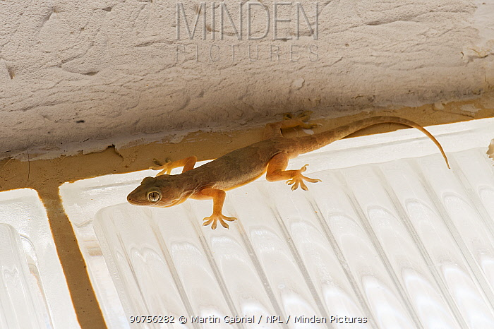 Yellow-bellied house gecko (Hemidactylus flaviviridis), Ras Al Hadd, Sultanate of Oman, February.