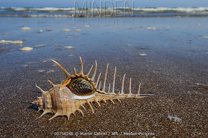 Woodcock murex snail (Murex scolopax), its aperture locked with operculum, Gulf of Oman, Sultanate of Oman, January, CROPPED