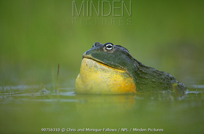 African giant bullfrog (Pyxicephalus adspersus) male calling in pond, Central Kalahari Game Reserve. Botswana.  -  Chris and Monique Fallows