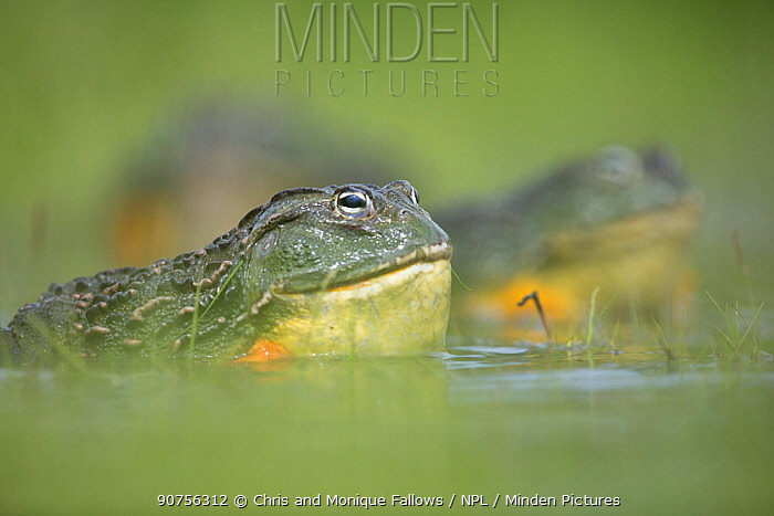 African giant bullfrog (Pyxicephalus adspersus) male in pond, Central Kalahari Game Reserve. Botswana.  -  Chris and Monique Fallows