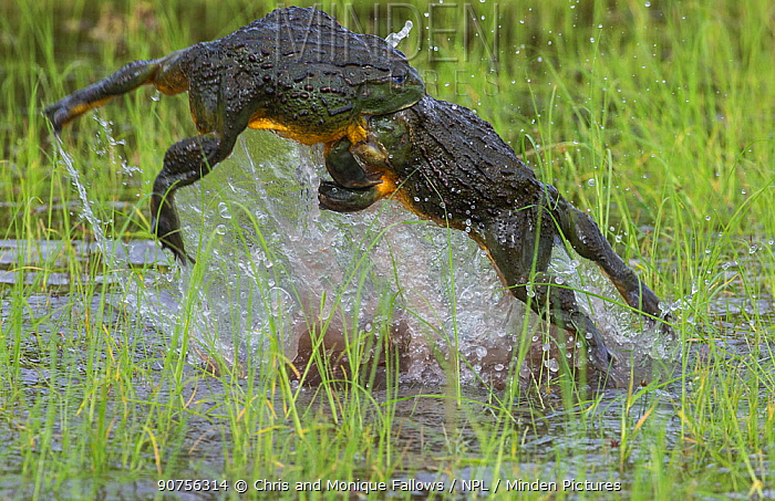 African giant bullfrog (Pyxicephalus adspersus) males fighting over female, Central Kalahari Game Reserve. Botswana.  -  Chris and Monique Fallows