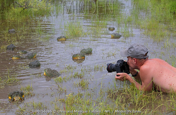 Photographer Chris Fallows taking pictures of African giant bullfrog (Pyxicephalus adspersus) Central Kalahari Game Reserve. Botswana.  -  Chris and Monique Fallows