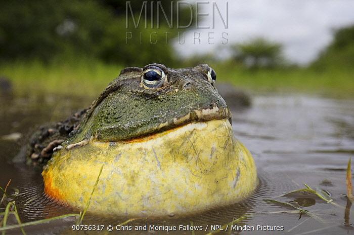 African giant bullfrog (Pyxicephalus adspersus) male calling, Central Kalahari Game Reserve. Botswana.  -  Chris and Monique Fallows