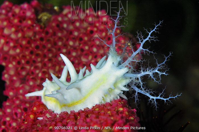 Sea Cucumber (Colochirus robustus) Rinca, Komodo National Park, Indonesia