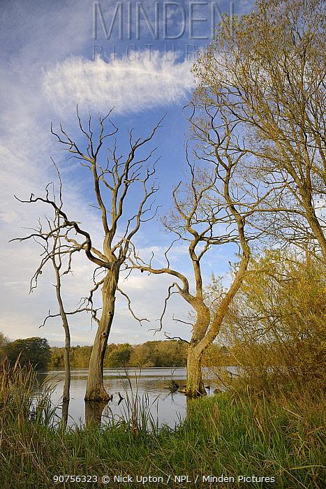 Dead Willow trees (Salix sp.), drowned by flooding, Coate water reservoir, Swindon, UK, November.
