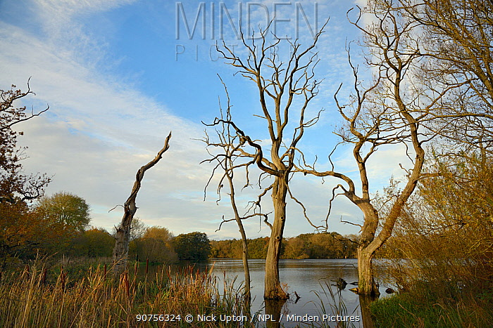 Dead Willow trees (Salix sp.), drowned by flooding, Coate water reservoir, Swindon, UK, November.
