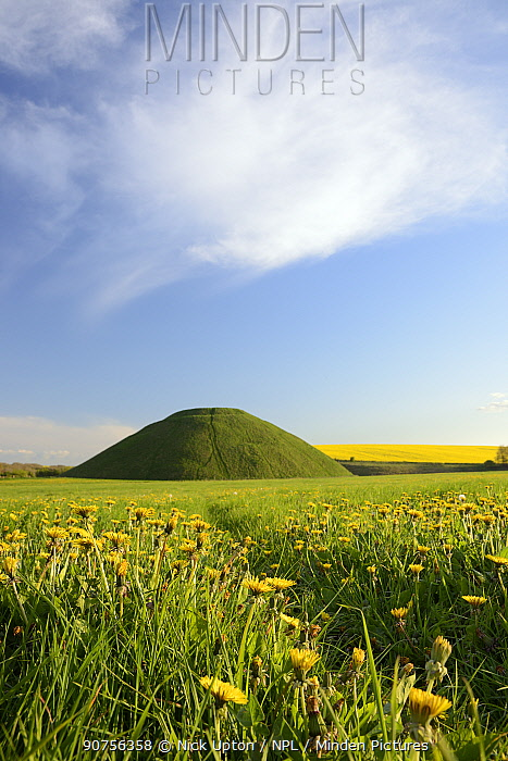 Silbury hill, a Neolithic artificial chalk mound, one of the world's largest man-made prehistoric mounds, surrounded by flowering Dandelions (Taraxacum officinale) and Rape (Brassica napus), Wiltshire, UK, April 2014.
