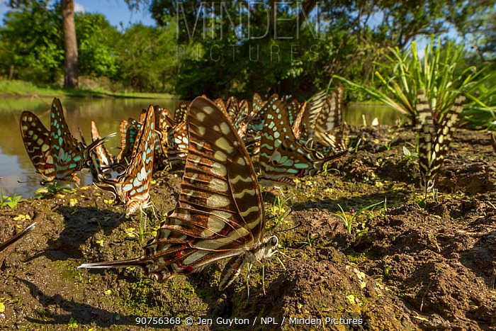 Several species of butterfly from the genus Graphium 'puddling' in Gorongosa National Park, Mozambique.