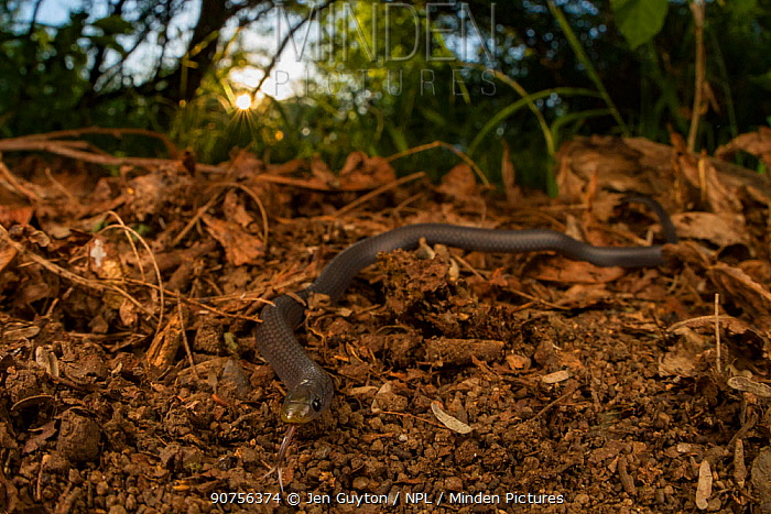 East African shovel-snout snake (Prosymna stuhlmanni) in undergrowth in Gorongosa National Park, Mozambique