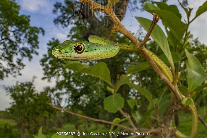 Spotted bush snake (Philothamnus semivariegatus) hanging from a bush in Gorongosa National Park, Mozambique.