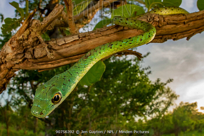 Spotted bush snake (Philothamnus semivariegatus) hanging from a bush in Gorongosa National Park, Mozambique.