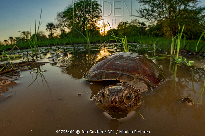 East African black mud turtle (Pelusios subniger) in seasonal pond. Gorongosa National Park, Mozambique. Cropped image