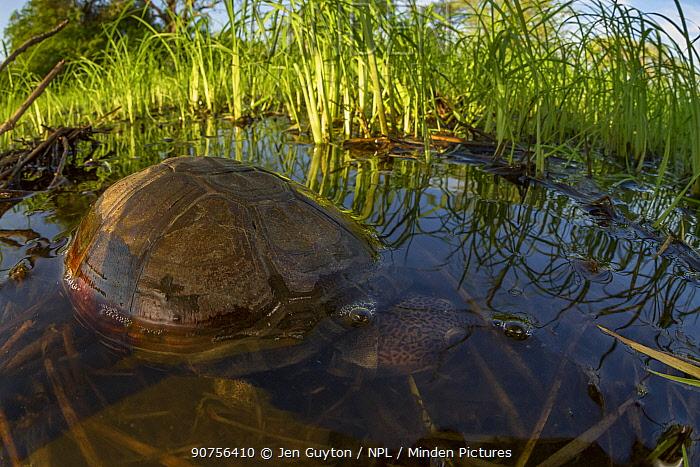 East African black mud turtle (Pelusios subniger) in seasonal pond. Gorongosa National Park, Mozambique.