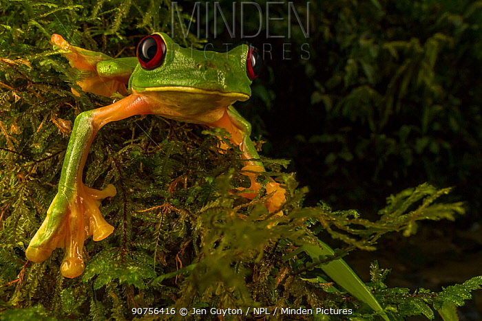 Gliding tree frog (Agalychnis spurrelli) climbing a vine at Las Cruces Biological Station, Costa Rica.
