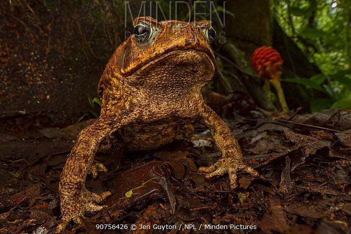 Cane toad (Rhinella marina) in native habitat. Las Cruces Biological Station, Costa Rica.