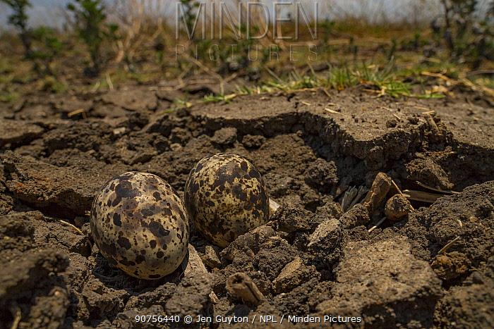 Collared pratincole (Glareola pratincola) eggs camouflaged on the floodplain, Gorongosa National Park, Mozambique.
