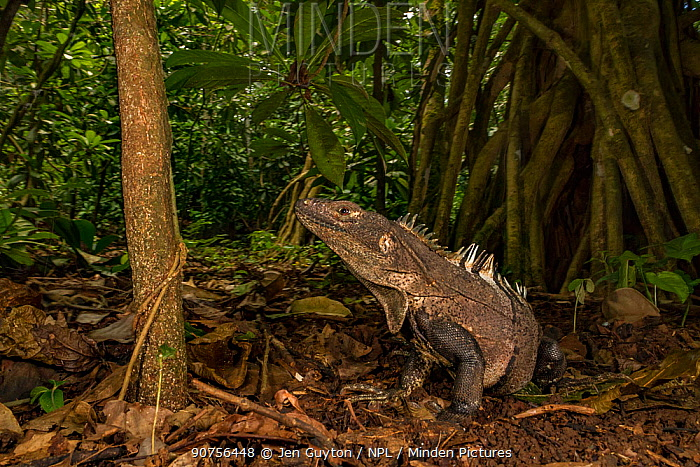 Black iguana (Ctenosaurus similis) in rainforest, whilst juveniles are arboreal adults of this species are ground dwelling. Costa Rica