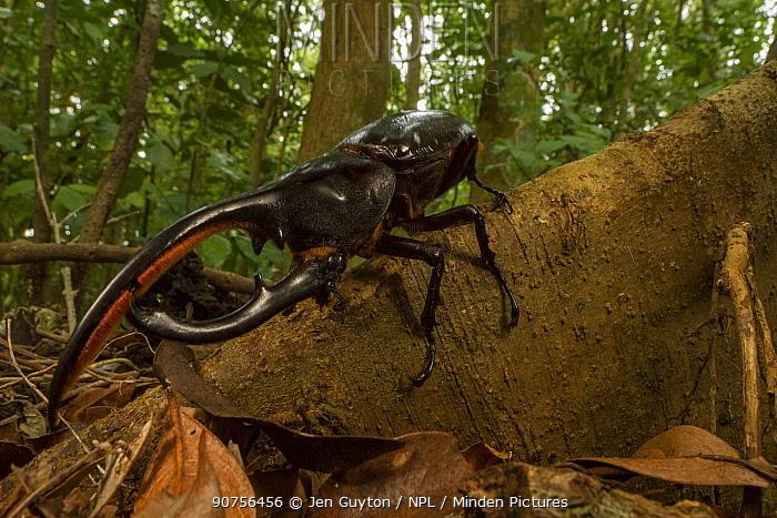 Hercules beetle (Dynastes hercules) near Monteverde, Costa Rica.