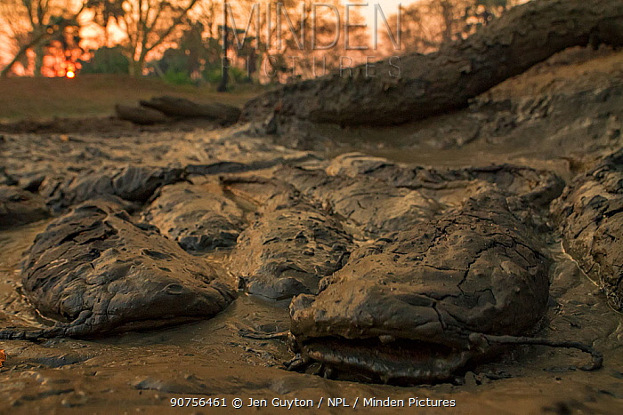 African sharptooth catfish (Clarias gariepinus) in mud in the dry season. These fish can breath air, helping them survive in drying ponds in this highly seasonal ecosystem. Gorongosa National Park, Mozambique.