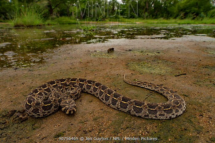 Swamp viper (Proatheris superciliaris) rests near a seasonal pond, Gorongosa National Park, Mozambique.